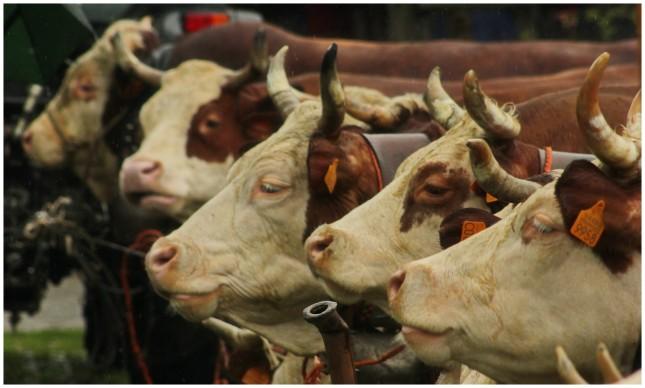 Fiera mucche 2013 34